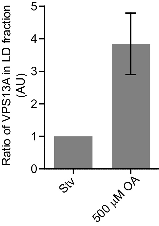 Endogenous <t>VPS13A</t> is enriched at fractions containing LDs upon OA induction. Ratio of VPS13A in the LD fraction in starved (Stv) ( Figure 7A ) and OA fed cells ( Figure 7B ). The amount of VPS13A Stv is set to 1.