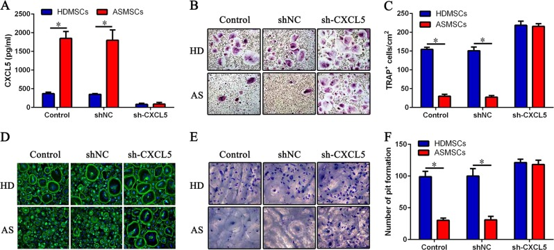 Effect of sh-CXCL5 on the inhibition of osteoclastogenesis by MSCs. CD14 + monocytes were cultured with HDMSCs or ASMSCs after knocking down CXCL5 in the presence of M-CSF and RANKL. a Secretion of CXCL5 from MSCs was detected by ELISA on day 3 after transfection with sh-CXCL5. b Representative images of TRAP staining (× 100). c The number of TRAP + osteoclasts in each well is shown. d Representative images of F-actin assays (× 200). e Representative images of bone resorption assays (× 200). f Pit formation on each slide was assessed. Data are presented as the mean ± SD ( n = 30). The results represent three independent experiments. *, p