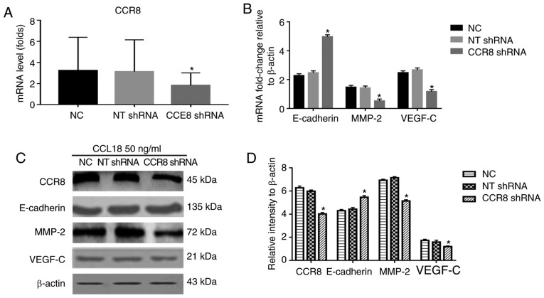 Effects of CCR8 shRNA on CCL18-induced expression of E-cadherin, MMP-2 and VEGF-C. 5637 bladder cancer cells were treated with CCL18 (50 ng/ml), CCL18 + NT shRNA or CCL18 + CCR8 shRNA for 36 h. (A) mRNA expression levels of CCR8 after being transfected with CCR8 shRNA was examined by reverse transcription-quantitative polymerase chain reaction. β-actin was used as an internal control. (B) mRNA expression levels of CCR8, E-cadherin, MMP-2 and VEGF-C were examined by reverse transcription-quantitative polymerase chain reaction. β-actin was used as an internal control. (C and D) Protein expression levels of CCR8, E-cadherin, MMP-2 and VEGF-C in 5637 cells were detected by western blotting. β-actin was used as an internal control. *P