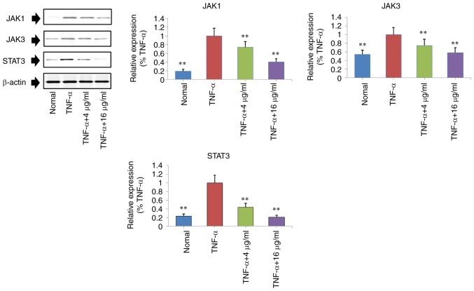 Regulatory effects of curculigoside on the expression levels of JAK1, JAK3 and STAT3 in TNF-α-stimulated MH7A cells were determined. Cells were treated with TNF-α (10 ng/ml) for 12 h, exposed to curculigoside (4 and 16 µg/ml) for a further 24 h and then subjected to western blotting assays to determine the expression levels of NF-κB and IκB (n=4). **P