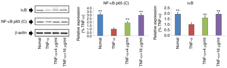 Regulatory effects of curculigoside on the expression levels of NF-κB p65 (C) and IκB in <t>TNF-α-stimulated</t> MH7A cells. Cells were treated with TNF-α (10 ng/ml) for 12 h, exposed to curculigoside (4 and 16 µg/ml) for a further 24 h and then subjected to western blotting assays to determine the expression levels of NF-κB and IκB (n=4). **P