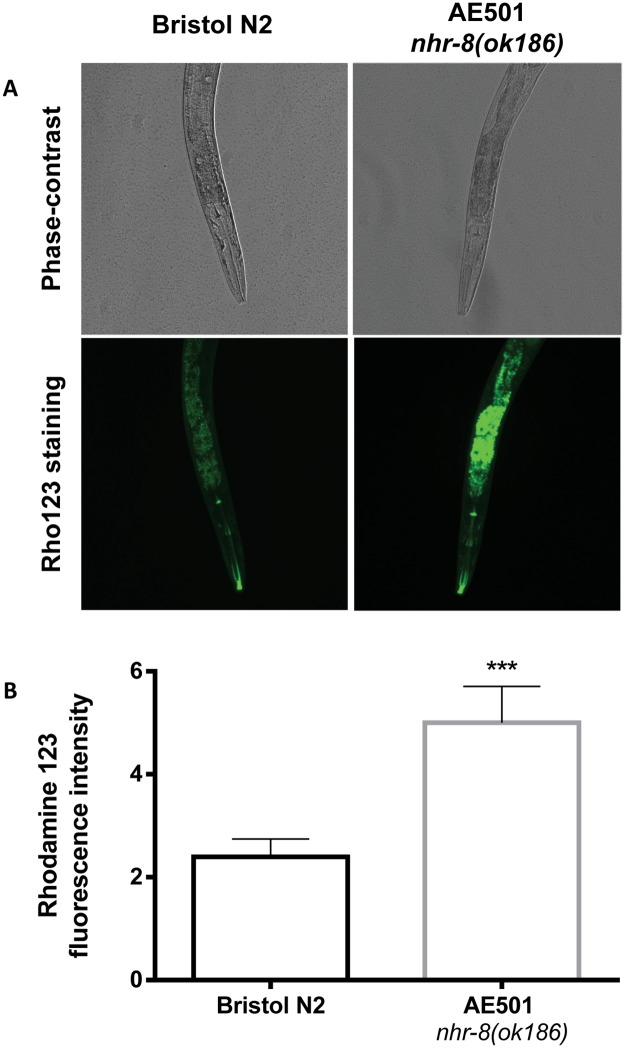 Effect of nhr-8 loss on PGP function in C . elegans . PGP function was evaluated by measuring the accumulation of the fluorescent dye rhodamine 123 in C . elegans . Wild-type Bristol N2 and nhr-8(ok186) young adult worms were incubated with rho123 at 10 μM for 48 h at 21°C and then examined by fluorescence microscopy for fluorescence intensity quantification. (A) Representative micrographs of individual Bristol N2 and nhr-8(ok186) worms after a 48h incubation with rhodamine 123; (B) Quantification of fluorescence intensity in Bristol N2 and nhr-8(ok186) worms. Data are mean ± SEM from 30–40 worms per strain. *** p