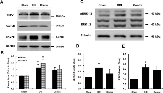 Increased expression levels of TRPV1, CAMKII, and phosphorylated ERK in the ipsilateral dorsal horn induced by chronic constriction injury. ( A ) The loose ligation of the sciatic nerve significantly increased TRPV1 and CAMKII expression in the ipsilateral spinal dorsal horn 7 days after CCI. ( B ) Bar chart showing the protein content relative to the sham group. The levels of TRPV1 and CAMKII in the ipsilateral spinal dorsal horn of the CCI group were significantly higher than those in the sham group ( P = 0.031 for TRPV1; P = 0.018 for CAMKII). ( C ) Loose ligation of the sciatic nerve significantly increased ERK phosphorylation in the ipsilateral spinal dorsal horn. ( D , E ) Bar charts depicting the protein content relative to that in the sham group. A significantly higher level of phosphorylated ERK2 was observed in the ipsilateral spinal dorsal horn of the CCI group than in the ipsilateral spinal dorsal horn of the sham group ( P = 0.023). GAPDH or tubulin served as a loading control and was run on the same blot. * P