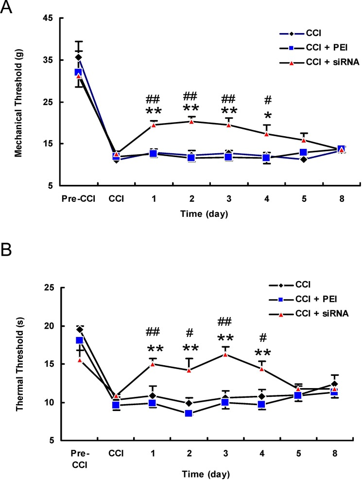 The intrathecal injection of the TRPV1 siRNA in vivo attenuated the mechanical and thermal hyperalgesia induced by chronic constriction injury. ( A ) The administration of the TRPV1 siRNA (5 μg/15 μl) once daily for two days significantly increased the paw withdrawal threshold to mechanical stimuli on days 1 to 4 post-transfection compared to the CCI + PEI control group or to the pre-injection baseline. ( B ) The TRPV1 siRNA significantly increased the paw withdrawal latency in response to thermal stimuli on days 1 to 4 post-transfection compared to results in the CCI + PEI control group or the pre-injection baseline. ** P