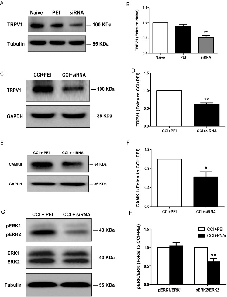 Reduced TRPV1 and CAMKII expression, as well as decreased ERK phosphorylation, in the spinal dorsal horn following TRPV1 siRNA administration. Western blots showing the reduced expression of the TRPV1 protein in the spinal dorsal horn 24 hours after the intrathecal injection of the TRPV1 siRNA (5 μg/15 μl) once daily for 2 days, in both naive (A) and CCI (C) rats. (B , D) Bar chart depicting the level of TRPV1 protein relative to that in the group administered PEI alone; the level of TRPV1 in the spinal dorsal horn was significantly reduced. (E) Western blots showing the reduced expression of CAMKII following the intrathecal injection of the TRPV1 siRNA compared to the results in the CCI + PEI group. (F) Bar chart presenting the protein content relative to the CCI + PEI group; the CAMKII level was significantly reduced. (G) Western blots showing the reduced level of phosphorylated ERK2 following the intrathecal injection of the TRPV1 siRNA in comparison to the results in the CCI + PEI group. (H) Bar chart depicting the protein content relative to the CCI + PEI group; the level of phosphorylated ERK2 was significantly reduced in the CCI + siRNA group. Tubulin or GAPDH served as the loading control and was run on the same blot. TRPV1 levels were significantly reduced in the siRNA group compared with those in the PEI group in naive rats. ** P = 0.001 compared with those in the PEI group (ANOVA, n = 5 rats per group). TRPV1 levels were significantly reduced in the CCI + siRNA group compared with those in the CCI + PEI group in CCI rats. ** P = 0.003 compared with those in the CCI + PEI group ( t -test, n = 4 rats per group). The level of CAMKII in the ipsilateral spinal dorsal horn of the CCI + siRNA group was significantly lower than that in the CCI + PEI group. * P = 0.026 compared with that in the CCI + PEI group ( t -test, n = 3 rats per group). The level of phosphorylated ERK2 in the ipsilateral spinal dorsal horn of the CCI + RNAi group was significantly lower tha