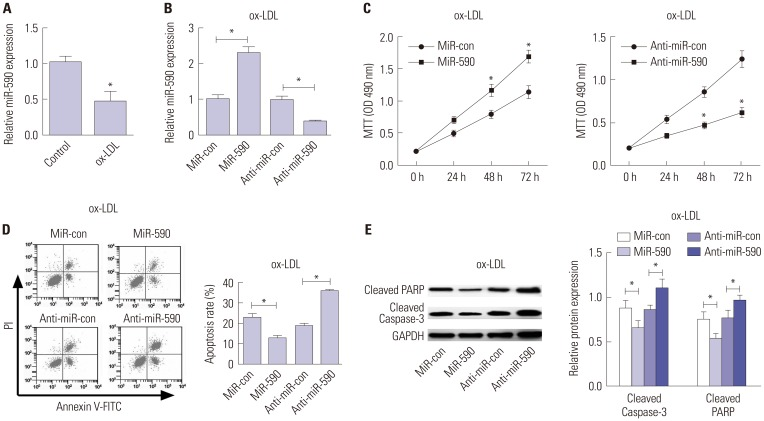 The effects of miR-590 on the proliferation and apoptosis in ox-LDL-treated HAECs. (A) qRT-PCR analysis of miR-590 expression in HAECs following ox-LDL challenge. U6 was used as the normalization. (B) qRT-PCR analysis of miR-590 expression in HAECs transfected with miR-590, anti-miR-590, or matched controls, followed by ox-LDL treatment. U6 was used as the normalization. (C) MTT assay was performed to evaluate cell proliferation at 24, 48, and 72 h in HAECs transfected with miR-590, anti-miR-590, or matched controls, followed by ox-LDL stimulation. (D) Flow cytometry analysis was conducted to determine the percentage of HAEC apoptosis after transfection with miR-590, anti-miR-590, or matched controls, followed by ox-LDL administration. (E) Western blot was employed to detect the expression levels of Cleaved PARP and Cleaved-Caspase-3 in HAECs transfected with miR-590, anti-miR-590, or matched controls, followed by ox-LDL stimulation. * p
