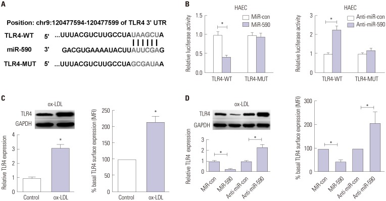MiR-590 directly targets TLR4 in ox-LDL-treated HAECs. (A) Bioinformatics analysis of the predicted interaction of miR-590 in the 3′UTR of TLR4. (B) Luciferase activity was determined by luciferase reporter assay in HAECs cells co-transfected with TLR4-WT or TLR4-MUT and miR-590, anti-miR-590, or respective controls. (C) Western blot (left) was performed to detect the cellular protein level of TLR4 in HAECs with or without ox-LDL treatment, while TLR4 protein level on cell surface was evaluated by flow cytometry (right). (D) The cellular protein level of TLR4 in ox-LDL-treated HAECs transfected with miR-590, anti-miR-590, or matched controls was detected by Western blot (left), while TLR4 protein level on cell surface was evaluated by flow cytometry (right). * p