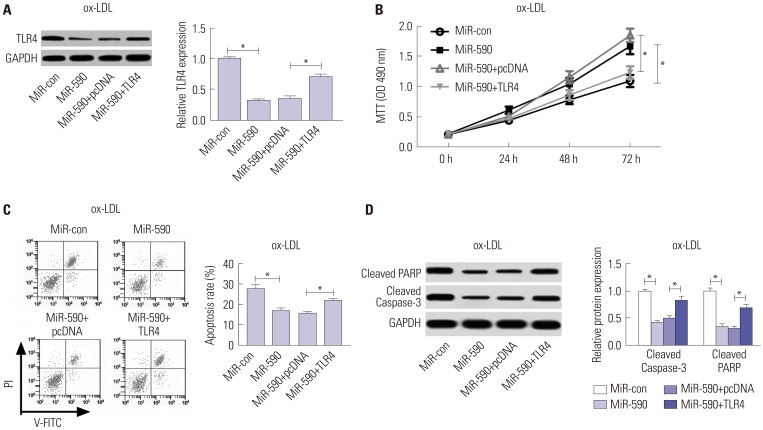 Anti-miR-590 reverses TLR4 knockdown-mediated promotion of cell proliferation and suppression of apoptosis in ox-LDL-treated HAECs. HAECs were transfected with si-TLR4, si-con, or cotransfected with si-TLR4 and anti-miR-590 or anti-miR-con, following ox-LDL stimulation. (A) Western blot analysis of TLR4 protein level in the treated HAECs. (B) Cell proliferation at 24, 48, and 72 h in the treated HAECs was evaluated by MTT assay. (C) Flow cytometry analysis was performed to detect the apoptotic rates in the treated HAECs. (D) Western blot was applied to analyze the protein levels of Cleaved PARP and Cleaved Caspase-3 in the treated HAECs. * p