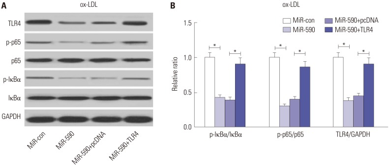 The effects of miR-590 on the TLR4/NF-κB pathway in ox-LDL-treated HAECs. (A) Western blot analysis of TLR4, p-IκBα, IκBα, p-p65, and p65 in HAECs after transfection with miR-590, miR-con, miR-590+TLR4, or miR-590+pcDNA, following ox-LDL challenge. (B) Quantification analysis of the protein level of TLR4, p-IκBα/IκBα ratio and p-p65/p65 ratio in the treated HAECs. * p