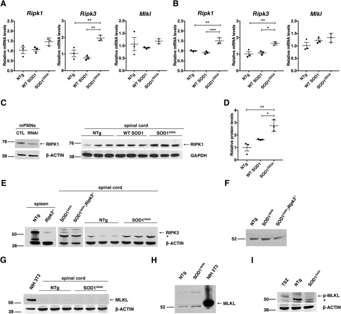 Upregulation of core necroptosis components in the spinal cord of symptomatic Tg SOD1 G93A mice. Lumbar spinal cords, from 12- and 15-week-old Tg SOD1 G93A , WT SOD1, and NTg mice, were isolated and processed for mRNA and protein (RIPA or urea extraction) expression of RIPK1, RIPK3, <t>MLKL,</t> and p-MLKL. A , Quantification of Ripk1 , Ripk3 , and Mlkl mRNA from 12-week-old mice . Gapdh : housekeeping gene. A significant increase was detected for Ripk3 in Tg SOD1 G93A compared to Tg SOD1 WT ( p = 0.0021) and NTg ( p = 0.0076) at 12 weeks. B , Quantification of Ripk1 , Ripk3 , and Mlkl mRNA in spinal cords of 15-week-old mice . Gapdh : housekeeping gene. A significant increase was detected for Ripk1 ( p = 0.0009, vs Tg SOD1 WT ; p = 0.0020, vs NTg) and Ripk3 ( p = 0.0115; vs Tg SOD1 WT , p = 0.0067; vs NTg) but not for Mlkl in Tg SOD1 G93A compared to Tg SOD1 WT and NTg mice at 15 weeks. C , Western blotting (RIPA) for RIPK1 in spinal cord of NTg, Tg SOD1 WT , and Tg SOD1 G93A 15-week-old mice. β-ACTIN, GAPDH: loading control. Specificity of the RIPK1 band was confirmed following downregulation of RIPK1 with specific lentiviral <t>shRNA</t> in mouse PMN cultures (mPMNs). D , Quantification of RIPK1 protein levels. RIPK1 protein is significantly increased in Tg SOD1 G93A samples compared to Tg SOD1 WT ( p = 0.0279) and NTg ( p = 0.0033) mice. Results are presented as mean ± SEM. Statistical analysis was performed via one-way ANOVA followed by Tukey's post hoc analysis; n = 3 biological replicates per genotype. E , Western blotting (RIPA) for RIPK3 showed no specific signal at the expected 55 kDa in spinal cord (NTg and Tg SOD1 G93A ). Non-specific band at 47 kDa is designated as an asterisk (*). NTg spleen: positive control tissue, Ripk3 −/− spleen and Tg SOD1 G93A ; Ripk3 −/− spinal cord: negative control tissue. F , Western blotting (urea) for RIPK3 antibody showed no specific signal at the expected 55 kDa in spinal cord (NTg and Tg SOD1 G93A ). Ripk3 −/− spinal cord: negative control tissue. G , Western blotting (RIPA) for MLKL showed no specific signal at the expected 55 kDa in spinal cord. NIH 3T3: positive control cell lysate. H , Western blotting (urea) for MLKL showed no specific signal at the expected 55 kDa in spinal cord (NTg and Tg SOD1 G93A ). NIH 3T3: positive control cell lysate. I , Western blotting for p-MLKL (RIPA) showed no signal at the expected 55 kDa. TSZ-treated L929 cells: control cell lysate.