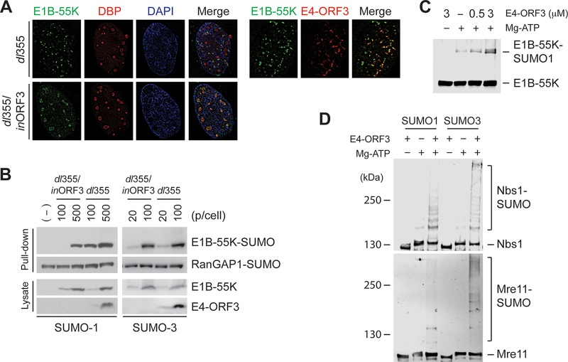 E4-ORF3 induces SUMO conjugation to <t>E1B-55K,</t> Nbs1, and Mre11. (A) HeLa cells infected with dl 355 (ΔE4-ORF6) or dl 355- in ORF3 (ΔE4-ORF3/ΔE4-ORF6) were immunostained for E1B-55K and E2-DBP or E4-ORF3 at 12 hpi. (B) His 6 -tagged SUMO-1 or SUMO-3-expressing HeLa cells were infected with indicating amounts of dl 355 or dl 355- in ORF3. At 12 hpi, SUMO conjugates were captured by Ni-NTA agarose beads and analyzed by Western blotting with the anti-E1B-55K antibody. SUMO-conjugated RanGAP1 was shown as a control for SUMO capture. Protein levels of E1B-55K and E4-ORF3 from cell lysates were determined by Western blotting. (C) GST-tagged Ad5 E1B-55K was incubated with SUMO-1/E1/E2 and the indicated concentrations of Ad5 E4-ORF3. The levels of SUMO conjugation were analyzed by Western blotting with the anti-E1B-55K antibody. (D) GST-tagged Nbs1 and Mre11 were incubated with SUMO E1/E2 and SUMO-1 or SUMO-3 in the absence or presence of Ad5 E4-ORF3 (3 μM). The reaction mixture was analyzed by Western blotting with anti-Nbs1 and anti-Mre11 antibodies.