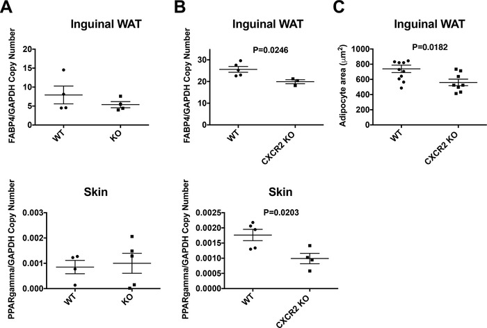 Adipogenesis related genes are down‐regulated in the skin and inguinal adipose tissue of juvenile CXCR2 KO mice . mRNA was extracted from inguinal adipose tissue and the skin of (A) adult and (B) juvenile female wild‐type and CXCR2 KO mice and analyzed for expression of PPARγ and FABP4 relative to the house‐keeping gene GAPDH. (C) Inguinal adipose tissue from juvenile mice was dissected, fixed, processed, and sections stained with H E. The area occupied by individual adipocytes was calculated and plotted. Data are plotted as mean (± sem ) where each symbol represents data from an individual mouse and analyzed using an unpaired t test. Data are representative of two separate experiments