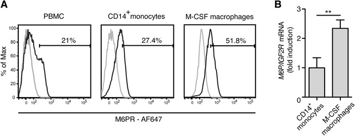 M6P/IGF2R expression increases during monocyte differentiation to macrophages . ( A ) Cell‐surface expression of M6P/IGF2R on isolated PBMC and MACS‐enriched monocytes from healthy donors was evaluated with mAb MEM‐238‐AF647 and flow cytometry. In parallel, MOPC‐21‐AF647 was used as an isotype control mAb, displayed by the cut‐off gates. The same analysis was performed with macrophages differentiated from MACS‐sorted monocytes during a 7‐day culture with recombinant human M‐CSF (50 ng/ml) followed by 2 days resting in macrophage serum free medium. ( B ) Primary human monocytes and monocyte‐derived macrophages from (A) were lysed and <t>RNA</t> was extracted. cDNA was synthesized from total RNA and gene expression was measured by real‐time <t>PCR</t> as described in the Material and Methods section with TaqMan primer sets for human M6P/IGF2R and YWHAZ as endogenous control. The M6P/IGF2R mean expression values relative to that of monocytes ± SD from 3 donors is shown