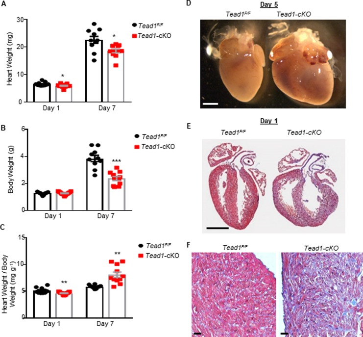 Tead1 loss-of-function results in heart failure associated with myocardium hypoplasia. ( A ) Heart weight ( B ) Body weight and ( C ) heart weight to body weight ratios of Tead1-cKO mice at postnatal days 1 and 7 (n = 10–13). *** p