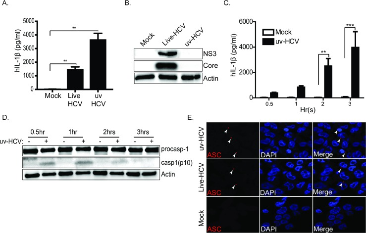 Component(s) within the incoming HCV virion stimulate NLRP3 inflammasome activation and IL-1β production. (A) IL-1β ELISA in THP-1 cells. THP-1 cells were differentiated with PMA overnight then rested for another 24hrs. The cells were exposed to infectious supernatant containing live-HCV or HCV inactivated by ultraviolet irradiation (uv-HCV) then the response was monitored. (B) immunoblot showing the replication capacity of uv-HCV as compared to live-HCV. (C) Differentiated THP-1 cells were exposed to infectious supernatant containing HCV inactivated by ultraviolet irradiation (uv-HCV) then the response was monitored over the indicated time course. (D) immunoblot showing the processing of caspase-1 post exposure to uv-HCV. Actin serves as a loading control. (E) ASC-specks in uv-inactivated HCV or live-HCV treated THP-1 cells. Differentiated THP-1 cells were stimulated with uv-HCV/live-HCV for 1hr then fixed with paraformaldehyde. Fixed cells were stained with anti-ASC antibody and DAPI. Red stains ASC-specks and DAPI stains the nuclei. ASC specks are indicated by the arrows. Experiments were performed with at least two technical replicates and are representative of three independent experiments. Data are presented as means +/- SD. *P