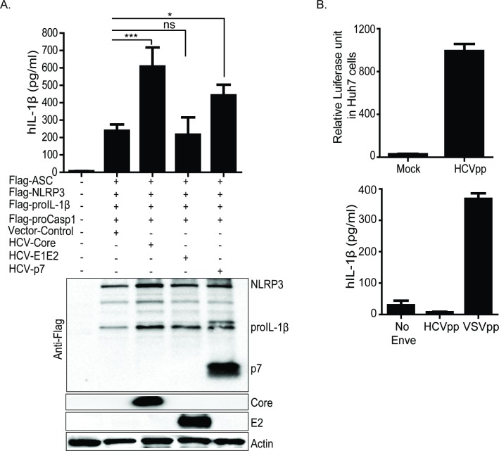 HCV capsid protein and ion-channel p7, but not envelope proteins (E1 and E2) activate NLRP3 inflammasome signaling. (A) IL-1β ELISA (top panel) in U2OS cells reconstituted with NLRP3 inflammasome components. Human proIL-1β, procasp1, ASC and NLRP3 were co-transfected with constructs expressing vector only or HCV core or HCV-p7 or HCV-E1E2. Lower panel of (A) is a western blot depicting the expression of each transfected constructs including the loading control, actin. (B) Relative luciferase activity measured in hepatoma Huh7 cells post infection with HCVpp (upper panel). Lower panel (B), IL-1β ELISA in THP-1 cells stimulated with (HCVpp) or VSVpp. Experiments were performed with replicates and are representative of at least two independent experiments. Data are presented as means +/- SD. *P