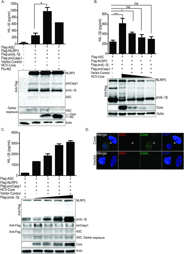 HCV core protein efficiently mediates NLRP3 activation and IL-1β release in the reconstituted system. (A) ELISA of IL-1β in U2OS cells reconstituted with NLRP3 inflammasome components. Top panel of (A) shows ELISA in vector or core or Flu-M2 transfected cells. Lower panel of (A) is IP-western blot depicting the expression of each NLRP3 inflammasome components (ASC, procasp-1, proIL-1β and NLRP3) and the co-transfected vector or core or Flu-M2. (B) ELISA (upper panel) in U2OS cells reconstituted with NLRP3 inflammasome components and transfected with a decreasing doses of HCV core protein expressing construct (western blot, lower panel). (C) ELISA revealing increase in IL-1β release with increasing input of proIL-1β expressing construct (upper panel) and input protein (lower panel) in the reconstituted cells. (D) ASC-specks in vector or core expressing reconstituted cells. Green stains HCV core protein, red stains ASC-specks and blue stains the nuclei. Experiments were performed with more than two replicates and are representative of three independent experiments. Data are represented as means +/- SD. For (A) *P = 0.0113. For (B) *P