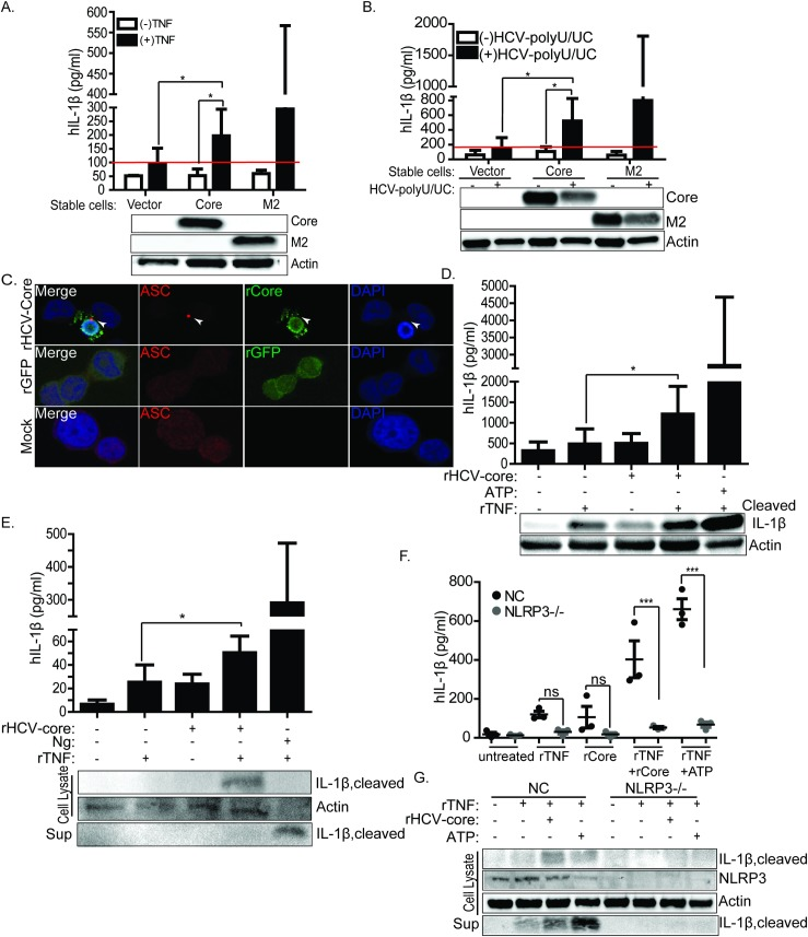 HCV core protein induces IL-1β release in macrophages. (A) IL-1β ELISA in THP-1 cells stably expressing vector only or HCV-core or Flu-M2 post differentiation with PMA. To prime and stimulate proIL-1β expression, cells were stimulated with either recombinant TNF (rTNF) or in (B) transfected with HCV polyU/UC RNA PAMP. Lower panel of (A) and (B) show the expression of core or Flu-M2 in the stable cell lines. (C) ASC-specks in THP-1 cells treated with recombinant core (rHCV-core) or recombinant GFP (rGFP). Red stains ASC-specks, green stains core or rGFP, and blue stains nuclei. ASC-specks are denoted by the white arrows. (D) ELISA showing the release of IL-1β in TNF-primed THP-1 treated with recombinant core (rHCV-core) or ATP. Top panel of (D) shows the release of IL-1β in supernatant and lower panel of (D) shows by western blot cleaved IL-1β protein in each treatment condition. (E) Primary human monocyte-derived macrophages were primed with rTNF for signal-one then treated with rHCV-Core or Ng. Upper panel of (E) is IL-1β ELISA and the lower panel shows production of cleaved of IL-1β both in supernatant and lysate. (F) ELISA of IL-1β in THP-1 non-targeting control cells or THP1 cells lacking NLRP3. These cells were primed with rTNF then stimulated with rHCV-core. (G) western blot depicting the production or lack of cleaved IL-1β in NLRP3 knockout or non-targeting control (NC) cells. Experiments were performed with two replicates and are representative of three independent experiments. Data are represented as means and +/- SD. For (A) *P = 0.0228 and *P = 0.0398, for (B) *P = 0.0317 and *P = 0.0495, for (D) *P = 0.0114, for (E) *P = 0.0178, for (F) ***p