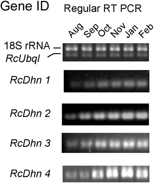 Regular RT-PCR DNA gel images for monthly expression patterns of dehydrin genes in leaf tissues of field-grown R. catawbiense collected in August, September, October, November, January, and February. Total RNA extracted from leaf tissues were used for cDNA synthesis. Regular RT-PCR was conducted by using each dehydrin's primers, while the Universal 18S Internal Standards primers (Ambion) and gene-specific primers of rhododendron ubiquitin-like ( RcUbql ) gene were used as the mixed primers for the reference genes; the cycle numbers were 32, which was in the exponential phase of the PCR amplification.