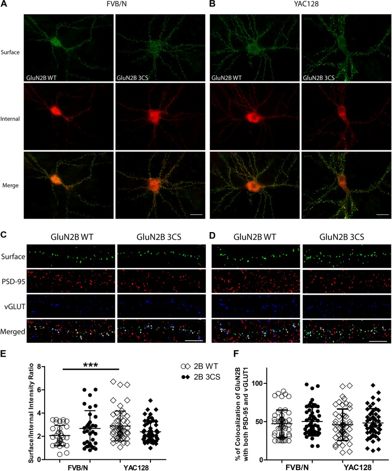 Loss of Cys cluster I (GluN2B 3CS) palmitoylation of GluN2B does not affect the surface expression of 2B-NMDARs in striatal neurons. GFP-tagged GluN2B wild type (WT) and Cys cluster I mutant (GluN2B 3CS) were nucleofected in striatal neurons co-cultured with cortical neurons. (A) Images representing the surface/internal expression of GluN2B in striatal neurons in MSN-CTX co-cultures from FVB/N mice. Neuronal cultures were live stained for surface GluN2B (green) with GFP antibody at DIV 18, then fixed and stained for internal GluN2B (red). Merged image shows the total GluN2B expression. Scale bars, 20 μm. (B) Representative images of surface (green)/internal (red) expression of GluN2B in striatal neurons co-cultured with cortical neurons from YAC128 mice. (C,D) Images representing the colocalization of surface GluN2B (green) with excitatory synaptic markers, <t>PSD-95</t> (red) and vGLUT1 (blue), in striatal neurons in MSN-CTX co-cultures expressing the wild type and Cys cluster I mutant (GluN2B 3CS). Scale bars, 10 μm. (E) Quantitative analysis for the ratio of surface/internal GluN2B intensity. Data from FVB/N and YAC128 co-cultures were acquired in paired experiments ( N = 4 paired culture batches, 52 cells for each genotype and construct). GluN2B WT surface intensity was significantly enhanced in YAC128 vs. FVB/N striatal neurons (two-way ANOVA, p = 0.0310 for mouse genotype, p = 0.7749 for GluN2B construct, and p = 0.0036 for interaction; ∗∗∗ p
