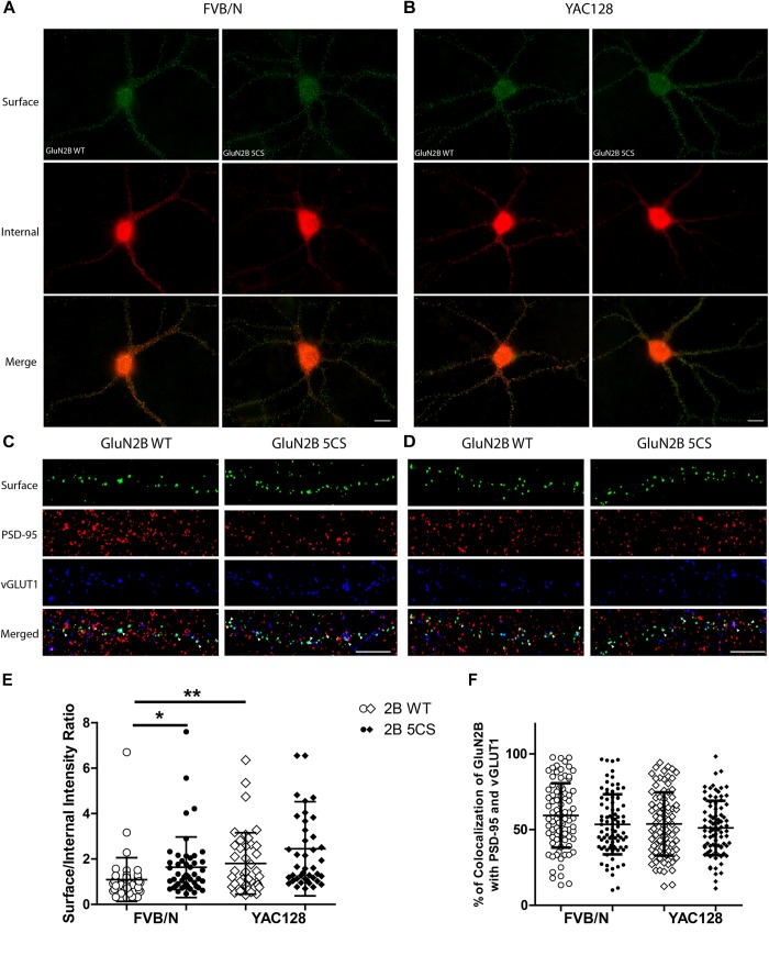 Loss of Cys cluster II (GluN2B 5CS) palmitoylation of GluN2B regulates the surface expression of GluN2B in striatal neurons. GFP-tagged GluN2B wild type (WT) and Cys cluster II mutant (GluN2B 5CS) were nucleofected in striatal neurons co-cultured with cortical neurons. (A) Images representing the surface (green)/internal (red) expression of GluN2B in striatal neurons in MSN-CTX co-cultures from FVB/N mice. Merged image shows the total GluN2B expression. Scale bars, 20 μm. (B) Representative images of surface (green)/internal (red) expression of GluN2B in striatal neurons co-cultured with cortical neurons from YAC128 mice. (C,D) Representative images of surface GluN2B puncta colocalization with the excitatory synaptic markers PSD-95 and vGLUT1 for GluN2B WT and 5CS in FVB/N and YAC128 DIV 18 striatal neurons in MSN-CTX co-cultures. Scale bars, 10 μm. (E) Quantitative analysis for the ratio of surface to internal GluN2B intensity was performed for data from paired experiments from 4 batches each of FVB/N and YAC128 MSN-CTX co-cultures. Similar to results shown in Figure 3E , GluN2B WT surface intensity was significantly enhanced in YAC128 vs. FVB/N striatal neurons; as well, surface intensity was significantly enhanced in FVB/N but not YAC128 striatal neurons expressing the GluN2B 5CS [FVB/N: N = 4(48 cells), YAC128: N = 4(42 cells)] when compared to neurons expressing GluN2B WT [FVB/N: N = 4(48 cells), YAC128: N = 4(42 cells)]. Significant by two-way ANOVA, p = 0.0012 for genotype, p = 0.0129 for 2B construct, and p = 0.9970 for interaction; ∗∗ p