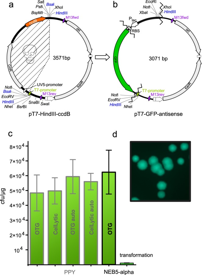 """The recombinogenic capacity of OTG extracts from autoinduced PPY and NEB 5-alpha extracts are equivalent or better than PPY-extracts generated by the original protocol. ( a ) Plasmid map of pT7- Hin dIII- ccdB used to assess three-fragment ZeBRα assemblies. Two Hin dIII and two Bsa I sites flank the toxic-placeholder- ccdB , allowing linearization and removal of ccdB . Unique sites are available on either side of ccdB . Chloramphenicol-acetyl-transferase coding gene ( CmR ), is part of the placeholder cassette and prevents ccdB -loss during plasmid propagation. The hatched region encompasses the fragment removed during cloning. ( b ) Map of the vector pT7-GFP antisense resulting from the three-fragment test-assembly of the pT7- Hin dIII- ccdB as recipient for a GFP-ORF and a bacterial promoter containing PCR-fragment, to evaluate the efficacy of the ZeBRα-procedure. Criss-cross lines mark the fusion-sites of the assembled fragments. ( c ) Comparison of the recombination capacity of extracts prepared with OTG or CelLyticB TM from manually induced and autoinduced (denoted as """"auto"""" in the column) PPY-cells and NEB 5-alpha. The iVEC/""""transformation-cloning"""" of the respective fragments is shown as last column. ( d ) Green fluorescent NEB 5-alpha colonies harboring the constitutively GFP-expressing vector pT7-GFP antisense."""