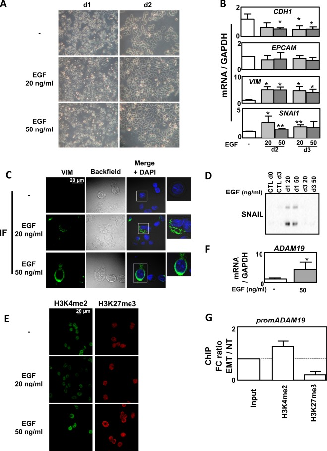 Epigenetic regulation in epidermal growth factor (EGF)-induced epithelial–mesenchymal transition (EMT) in MDA-MB-468 cells. a Representative images showing a change in morphology of MDA-MB-468 cells following 1–5 days of treatment with EGF (20 or 50 ng/ml). b Validation of EMT markers by quantitative reverse transcriptase–polymerase chain reaction (qRT-PCR) in the MDA-MB-468 cell line treated or not with EGF (20 or 50 ng/ml) for 3 days (mean ± SD of at least 3 independent experiments). c Increased change of morphology and intensity of VIMENTIN staining using immunofluorescence (IF) in MDA-MB-468 cells treated or not with EGF (20 or 50 ng/ml) for 3 days. d Increased expression of SNAIL1 in MDA-MB-468 cells treated or not with EGF (20 or 50 ng/ml) for 3 days. e Increased staining in H3K4me2 and H3K27me3 marks using IF in MDA-MB-468 cells treated or not with EGF (20 or 50 ng/ml) for 3 days (representative pictures of 3 independent experiments). f Increased expression of ADAM19 gene quantified by qRT-PCR in MDA-MB-468 cells treated or not with EGF (50 ng/ml) for 3 days. g Ratio of fold change (EMT: EGF treated versus NT: untreated MDA-MB-468 cells) following chromatin immunoprecipitation against H3K4me2 and H3K27me3 marks on the ADAM19 promoter. Dotted line = 1 (mean ± SEM of at least 3 independent experiments) * p