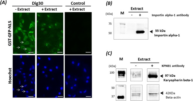 Nuclear import of the fusion protein GST-GFP-NLS in the permeabilized cells. Cells permeabilized with 30 µg/mL digitonin (Dig30) and non-permeabilized cells (Control) were incubated with GST-GFP-NLS in the absence (−Extract) or presence (+Extract) of Xenopus egg extract supplemented with ATP for 1 h at 25 °C. The incorporation of GST-GFP-NLS was assessed by green fluorescence. Cell nuclei were counterstained with Hoechst 33243. Note that without egg extract, the nuclei are not labelled (arrows). Due to light scattering of the fluorescence in the cytoplasm, the nuclei appear smaller than they are. The egg extract restored nuclear import in the permeabilized cells. These pictures are representative of five independent replicates. Scale bar = 20 µm. Detection of importin alpha-1 (55 kDa) ( B ) and Karyopherin beta -1 (KPNB1–97 kDa) ( C ) in Xenopus egg extract by western blot in the presence (+) or in absence (−) of the anti- Xenopus importin alpha-1 antibody (clone 15) and the anti-rat KPNB1 antibody (KPNB1-clone 23). Beta actin was used as a loading control. M: size markers. The cropped blots came from the same gels and were analyzed with the same exposure times (B:1 sec; C:1 min).