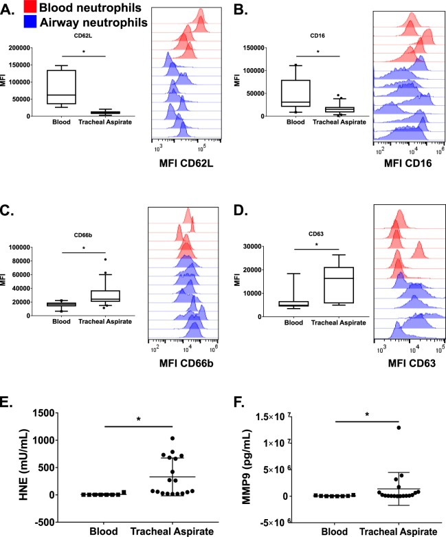 Characterization of blood and airway neutrophils markers by flow cytometry and markers of neutrophil activation in the plasma and airway fluid. Box plots of neutrophil cell surface markers for ( A ) CD62L, ( B) CD16, ( C ) CD66b, and ( D) CD63 in the blood (n = 8) and airway (n = 18) collected within 24 hours of endotracheal intubation (Day 1). Examples of histograms of the primary flow cytometry data are shown beside the box plot for each marker. Red and blue histograms represent blood and airway neutrophils, respectively. ( E ) Human neutrophil elastase activity assay and ( F ) matrix metalloproteinase 9 (MMP-9) protein levels from Day 1 plasma and cell-free airway fluid from tracheal aspirate samples. Box plots depict median values, the box edges are the 25 th to 75 th interquartile ranges (IQR), and the whiskers are the 5−95% confidence intervals. * p