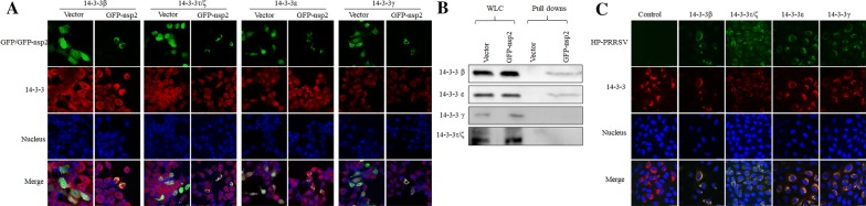 Identification of interactions between 14-3-3 subtypes and NSP2 by confocal microscopy (A and C) and IP (B). A Co-localization of NSP2 with 14-3-3 subtypes, confirmed by immunofluorescence microscopy. Co-localization of EGFP–NSP2 (green) with 14-3-3 β, ε, γ, and τ/ζ (red) was visualized in transfected 293T cells. B 293T cells were transfected with GFP–nsp2 and an empty vector. Proteins associated with NSP2 were pulled down using GFP-Trap and analyzed by Western blot using specific antibodies against 14-3-3β, ε, γ, and τ/ζ. C Co-localization of HP-PRRSV with 14-3-3 subtypes, confirmed by immunofluorescence microscopy. Co-localization of NSP2 of TA-12 (green) with 14-3-3 α/β, ε, γ, and τ/ζ (red) was visualized in Marc-145 cells. Co-localization was determined by the yellow signal in merged images. WCL: whole-cell lysates.