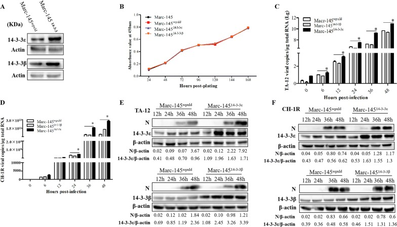 Overexpression of 14-3-3ε enhances HP-PRRSV infection. A Western blot analysis of 14-3-3β/ε overexpression cells. B Cell growth kinetics. Normal Marc-145 cells and Marc-145 wpxld , Marc-145 14-3-3β , and Marc-145 14-3-3ε cells were plated in 24-well plates. At 24, 48, 72, 96, 120, 144, and 168 h post-plating, the CCK-8 reagent was added to the cells. The cells were then incubated for 2 h at 37 °C. Cell counting was performed by measuring absorbance at 450 nm. Marc-145 14-3-3β , Marc-145 14-3-3ε , and Marc-145 wpxld cells were infected with TA-12 and CH-1R, respectively. The infected cells were harvested at 0, 6, 12, 24, 36, and 48 hpi for <t>RNA</t> extraction and at 12, 24, 36, and 48 hpi for protein extraction. Viral loads were evaluated by absolute <t>qPCR</t> targeting the N gene of TA-12 ( C ) and CH-1R ( D ). Cellular proteins were analyzed by Western blot analysis for detecting the viral N protein of TA-12 ( E ) and CH-1R ( F ). The GAPDH protein or GAPDH gene was used as the internal control. * P value