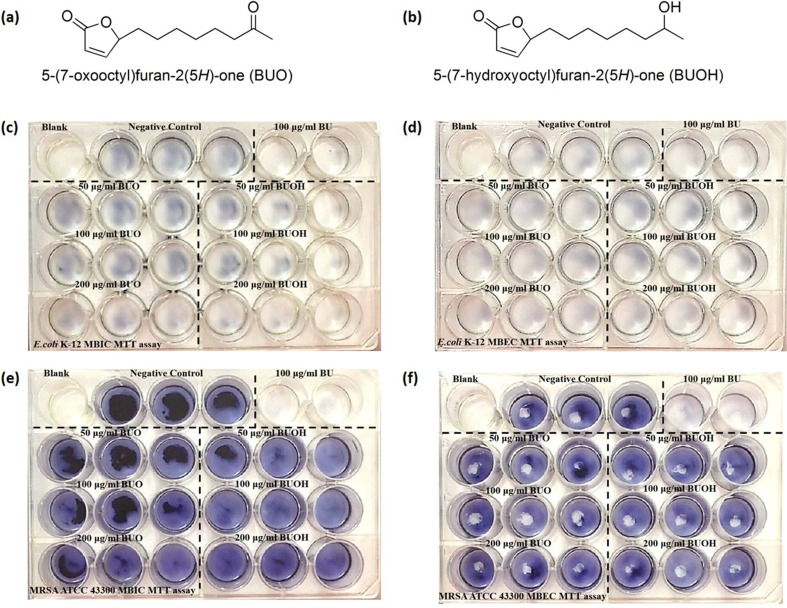 Two high hydrophilic analogs of butenolide (BU), BUO and BUOH, and their antibiofilm activity against E. coli K-12 and MRSA ATCC 43300 biofilms. Antibiofilm abilities of MBIC and MBEC (24 h pre-formed biofilm) were investigated. DMSO is referred as negative control, and BU of MBIC or MBEC (100 mg/L for E. coli K-12 and 200 mg/L for MRSA ATCC 43300) is referred as positive control. a Chemical structure of BUO with a carbonyl on the seven carbon in alkyl side-chain of BU. b Chemical structure of BUOH with a hydroxyl on the seven carbon in alkyl side-chain of BU. c , d MBIC and MBEC assay of both BUO and BUOH on E. coli K-12 biofilm inhibition and eradication. e , f MBIC and MBEC assay of both BUO and BUOH on MRSA ATCC 43300 biofilm inhibition and eradication. No antibiofilm activities of BUO and BUOH were observed