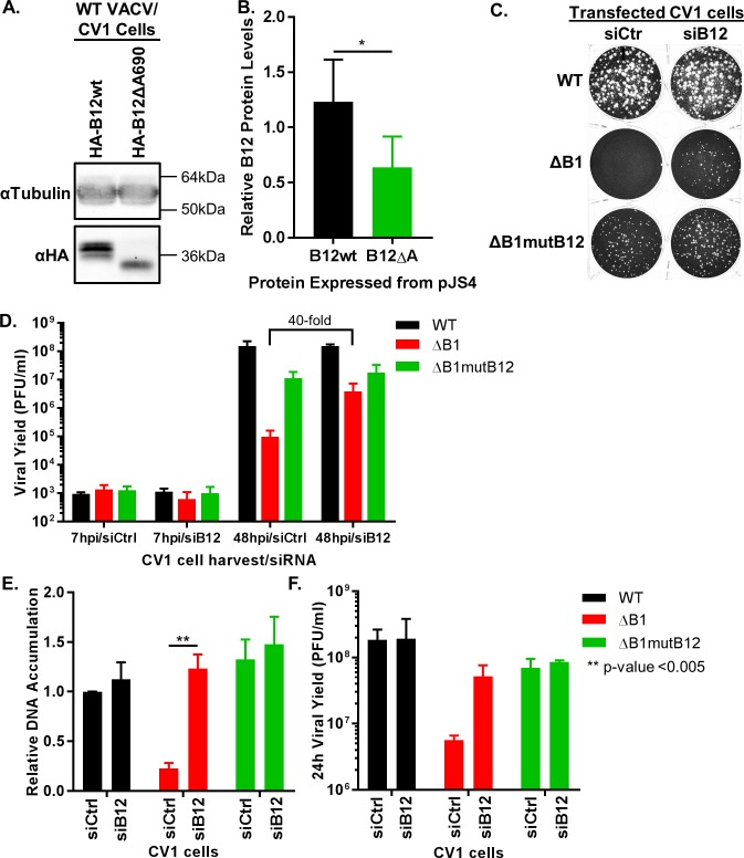 Depletion of B12 rescues ΔB1 virus growth in CV1 cells. (A) CV1 cells were transfected with pJS4-HA-B12wt or pJS4-HA-B12ΔA690 plasmid and infected 6h post transfection with WT virus at a MOI of 3. 24h post infection cells were harvested for immunoblot analysis. The HA-B12Δ690 represents the indel mutation within the ΔB1mutB12 virus B12R gene. (B) B12 proteins were expressed from the pJS4 vector during WT infection (representative immunoblot in Fig 1A ). Relative protein levels for HA-B12wt and HA-B12ΔA690 were averaged from five independent experiments, and normalized to control protein levels set to 1. The denoted * p-value equals 0.02. (C) 200PFU/well WT, ΔB1, or ΔB1mutB12-A3 infections were carried out on CV1 cells 24h following transfection with siCtrl or siB12. Cells were fixed 72h post infection. (D) Multi-step viral yield assay was conducted in siCtrl or siB12 CV1 cells for WT (black), ΔB1 (red), and ΔB1mutB12-A3 (green) infections at a MOI of 0.01. Cells were harvested at 7h or 48h post infection and titration on CV1-B1myc cells. (E) Growth assays on siCtrl or siB12 transfected CV1 cells were completed for WT (black), ΔB1 (red), and ΔB1mutB12 (green) viruses at a MOI of 3 for relative DNA accumulation and (F) viral yield titration on CV1-B1myc cells.