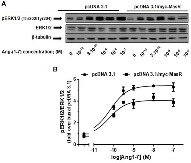 Dose-response effect of Ang-(1–7) on ERK1/2 phosphorylation levels. HEK293T cells were transfected either with the pcDNA3.1/myc-MasR vector or with the empty vector (pcDNA 3.1), starved in DMEM without serum for 8 h and then incubated for 5 min with increasing concentrations of Ang-(1–7). (A) Phosphorylation levels of ERK1/2 at activating residues <t>Thr202/Tyr204,</t> total ERK1/2 and β-tubulin abundance were determined by Western Blotting. (B) Data quantification. Bands intensity was quantified by optical densitometry, each individual value of pERK was normalized to that of total ERK and expressed as relative to the value obtained after incubation with cells transfected with pcDNA 3.1 and incubated with vehicle (basal value). Data are means ± SEM of three independent experiments. Values were fitted to a sigmoidal dose-response curve. Maximal response best-fitted values were analyzed by extra sum-of-squares F test, significantly different ( P