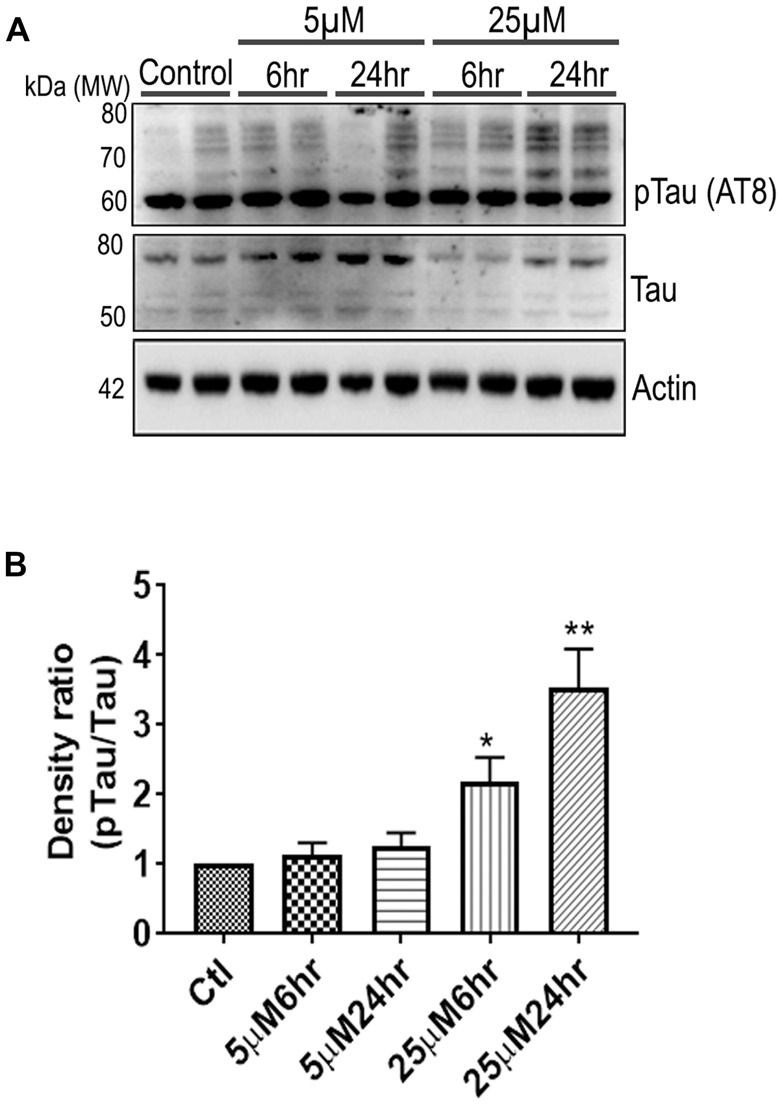 661 W Cells (1 × 10 6 ) were cultured in plates and treated with 5 μM and 25 μM Aβ concentrations and harvested after 6 h and 24 h respectively. Cells were washed with ice cold 1× PBS, homogenized and subjected to (A) western blotting and probed with indicated antibodies- pTau Ser202/Thr205 (1:1,000), Tau (Tau46, 1:1,000) Anti-beta Actin (1:10,000). Blots were subjected to chemiluminescent substrate detection for HRP linked secondary antibody and (B) quantified by densitometric analysis (** p
