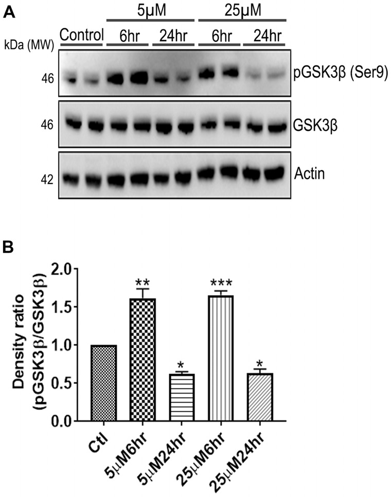 661 W Cells (1 × 10 6 ) were cultured in plates and treated with 5 μM and 25 μM Aβ concentrations and harvested after 6 h and 24 h respectively. Cells were washed with ice cold 1× PBS, homogenized and subjected to (A) western blotting and probed with indicated antibodies- pGSK3β Ser9 (1:1,000), GSK3β (1:1,000), Anti-beta Actin (1:10,000). Blots were subjected to chemiluminescent substrate detection for HRP linked secondary antibody and (B) quantified by densitometric analysis (*** p