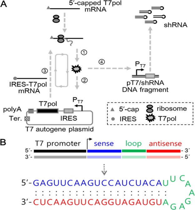 Schematic diagram of T7 autogene-based hybrid mRNA/DNA system and structure of produced shRNA. ( A ) The mechanism of hybrid mRNA/DNA system in the transfected cells is illustrated. 5′-capped T7pol mRNAs are (1) translated into T7pol proteins via cellular translational machinery, and then initial binding (2) of T7pol proteins to T7 promoter on T7 autogene plasmid transcribes IRES-fused T7pol mRNA (3), which is subsequently (1) translated into T7pol protein via cellular translational machinery. After T7pol proteins trigger the autocatalytic positive feedback loop, their iterative binding to T7 promoters on T7 autogene plasmids results in the large quantities of T7pol proteins. A portion of T7pol proteins exiting the autocatalytic loop bind to T7 promoters of pT7/shRNA DNA fragments, and induce the expression of shRNA in the cytoplasm. ( B ) The predicted hairpin structure of RNA expressed from pT7/shRNA DNA fragment. The RNA sequences of hairpin directed against red fluorescence protein (RFP) mRNA are depicted: 19-nt sequences (blue) from the target mRNA are separated by a short loop (green) from the reverse complement (red) of the same sequences. The mfold web server was used for simulation of RNA folding ( http://mfold.rna.albany.edu/?q=mfold/RNA-Folding-Form ).