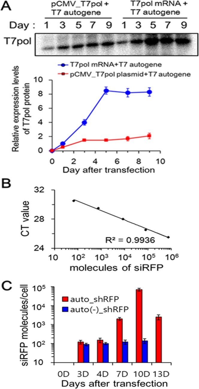 Sustained production of siRNA by higher and more sustained levels of T7 RNA polymerase. ( A ) Co-delivery of T7pol mRNA and T7 autogene induces higher and more sustained levels of T7pol expression than pCMV-triggering T7 autogene. B16F10/RFP cells were transfected by lipoplexes containing T7 autogene plasmids with either T7pol mRNAs or pCMV_T7pol plasmids for the specified period of time, and then cell lysates were subjected to immunoblot staining, based on the anti-T7 RNA polymerase polyclonal antibodies. Each band intensities were quantitatively analyzed using Image J software and EZ-Capture MG. Data represent the mean ± s.d. (n = 5). The full blot image is presented in Supplementary Fig. S4 . ( B ) TaqMan standard curve of synthetic siRFP oligoes versus CT value. siRFP-specific small RNA TaqMan assay was carried out with serial dilution of synthetic siRFP oligoes. The number of siRFP molecules corresponding to each point was calculated and plotted with respect to CT value. ( C ) Quantitative measurement of siRFP molecules processed from shRFP hairpins. B16F10/RFP cells were transfected with auto_shRFP@LS or auto(−)_shRFP@LS for the indicated period of time, and then siRFP-specific small RNA TaqMan assay was performed against the RNA samples isolated from the cell lysates. Based on the standard curve in ( B ) and CT values obtained from siRFP amplification, the amounts of siRFP molecules produced could be calculated, and then plotted against incubation time after transfection. Data represent the mean ± s.d. (n = 5).