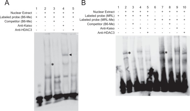 The binding of Kaiso on the mCGCG motif of Kaiso regulatory region of Ctse gene. ( A ) Biotin-labeled and methylated probe (B6-Me) was incubated with 28 μg of nuclear protein from EL4 cells, and putative Kaiso and DNA complexes is indicated by asterisk in lane 2. The formation of Kaiso and DNA complexes was inhibited by excess amounts of unlabeled competitor (lane 3). The Kaiso and DNA complexes demonstrated supershift by the addition of 4 μg of anti-Kaiso Ab (arrow head in lane 4). ( B ) Biotin-labeled, unmethylated (MRL), and methylated (MRL-Me) probes were incubated with 28 μg of nuclear protein from EL4 cells. The putative Kaiso and DNA complexes are indicated by asterisks in lanes 2 and 7 and they reveal no supershift with anti-Kaiso Ab and anti-HDAC3 Ab.