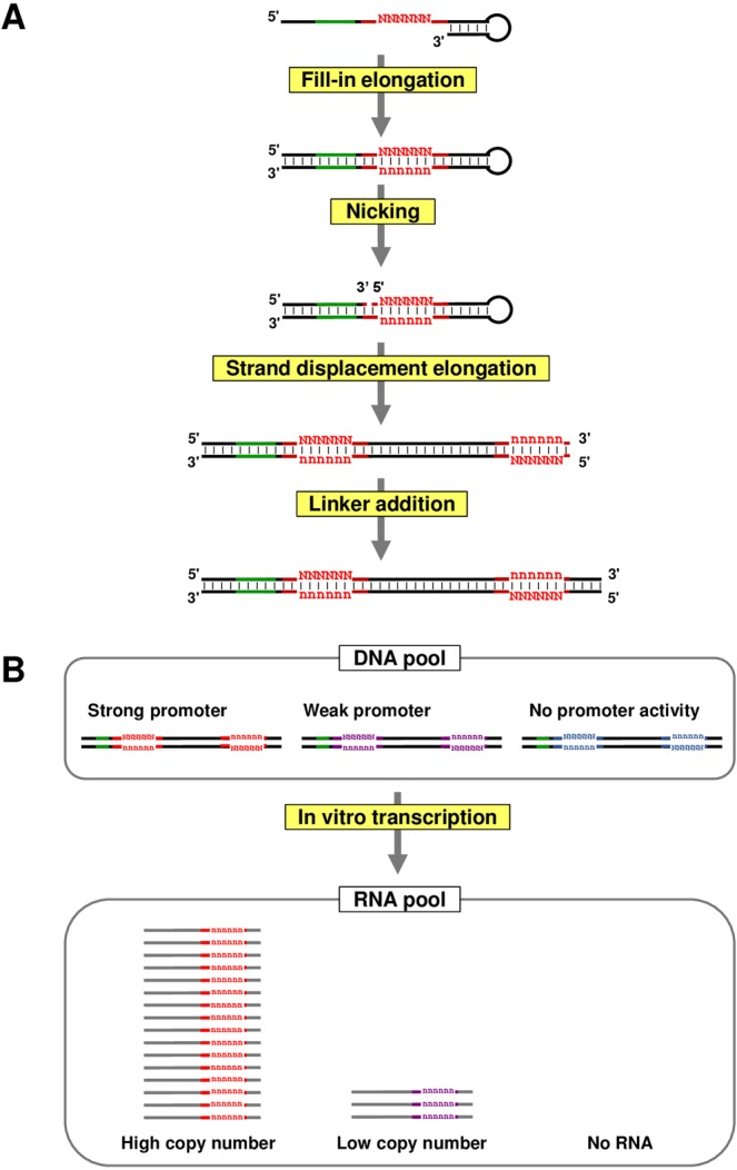 Schematic diagram of PRSeq (Promoter RNA Sequencing) method. ( A ) DNA pool preparation. Synthetic single-stranded DNA with a 3′-terminal hairpin structure is subjected to intra-strand fill-in DNA elongation to generate double-stranded recognition sequence for nicking enzyme, Nt.AlwI (green). The randomized promoter region is indicated by red color. After the nicking reaction, the DNA is subjected to DNA elongation employing Bst 2.0 DNA polymerase which has strong strand displacement activity. In this reaction, the 5′-DNA fragment generated by the nicking acts as a primer, and the random sequence in the promoter region is copied to downstream of the promoter. Finally, a primer sequence for reverse transcription is attached by ligation. Note that a part of non-randomized region of the promoter is not copied, and the copied sequence should not act as the promoter. ( B ) In vitro transcription (IVTX) of the DNA pool. The DNA pool prepared by the reactions in ( A ) is applied for IVTX. The template DNA molecules with strong and weak promoters (shown by red and purple colors) generate high and low copies of RNA, respectively, whereas most of the DNA with non-functional promoter variant (shown by blue color) do not. Since the RNA copy number is in proportion to the promoter activity linearly, activity of each promoter sequence can be evaluated by RNA sequencing of the transcript pool.
