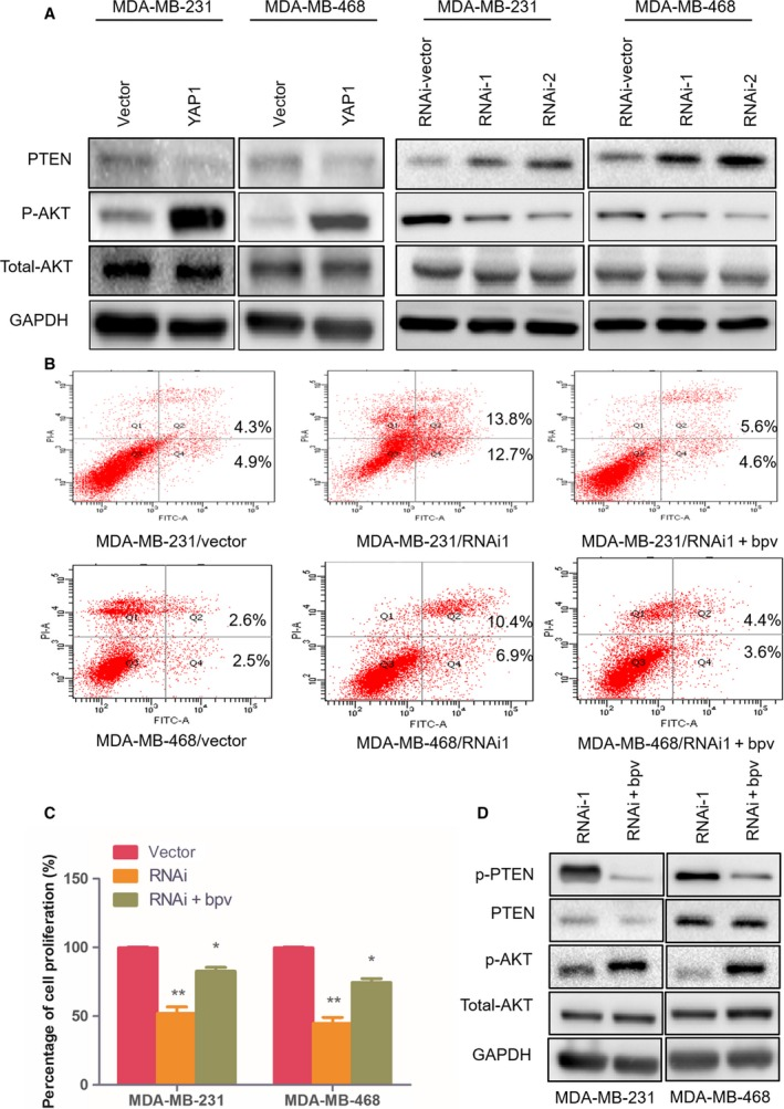 YAP 1 affects cell apoptosis and proliferation through regulation of PTEN – AKT signaling. (A) Western blot analysis of PTEN , phosphorylated AKT (p‐AKT), and total AKT protein in the indicated BC cell lines. (B) Flow cytometric assays revealed the role of PTEN ‐specific inhibitor bpV( HO pic) in the apoptosis of YAP 1‐ RNA i1‐transduced cells. (C) CCK 8 assays revealed the role of bpV( HO pic) in the proliferation of YAP 1‐ RNA i1‐transduced cells. (D) Western blot analysis of p‐ PTEN , PTEN , p‐AKT, and total AKT protein in bpV ( HO pic)‐treated YAP 1 silenced cells. Data are presented as mean ± SD of three biological replicates and were analyzed by two‐tailed Student's t test; * P