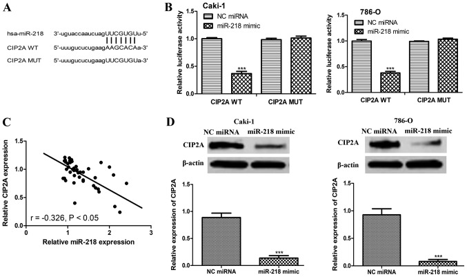 miR-218 inhibits CIP2A expression by specifically targeting its 3′-UTR. (A) Sequence alignment of the CIP2A WT and CIP2A MUT potential miR-218 targeting sites. (B) Luciferase reporter assay demonstrated decreased reporter activity following transfection with the CIP2A WT in <t>Caki-1</t> and 786-O cell lines overexpressing miR-218. (C) Inverse correlation between miR-218 expression level and CIP2A expression level in ccRCC tissues. (D) Alteration of the CIP2A protein expression levels in Caki-1 and 786-O cell lines transfected with miR-218 mimic or NC <t>miRNA.</t> Data are presented as the mean ± standard deviation. ***P