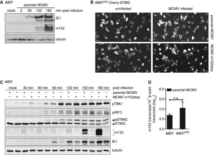STING trafficking and downstream signaling is delayed in iMEF infected with parental MCMV compared to infection with MCMV m152stop iMEF were infected by centrifugal enhancement with parental MCMV at an MOI of 0.5 or mock infected. Cells were lysed at the indicated time points, and lysates were subjected to immunoblotting with antibodies specific to the MCMV proteins immediate‐early protein 1 (IE1) and m152. Tubulin levels were determined with a tubulin antibody. Representative still images from live cell imaging experiments with iMEF gt/gt stably expressing Cherry‐STING infected with the parental MCMV (upper panel) or MCMV m152stop (lower panel) at 120 min post‐infection. iMEF were infected by centrifugal enhancement with parental MCMV or MCMV m152stop at an MOI of 0.1 or mock infected. Cells were lysed at the indicated time points, and lysates were subjected to immunoblotting with specified antibodies. iMEF or iMEF gt/gt were infected by centrifugal enhancement with parental MCMV at an MOI of 0.01. Six hpi, total RNA was extracted and m152 transcript levels were determined by qRT–PCR. Data were normalized to 10 7 cellular β‐actin transcripts and are shown as mean ± SD. Source data are available online for this figure.