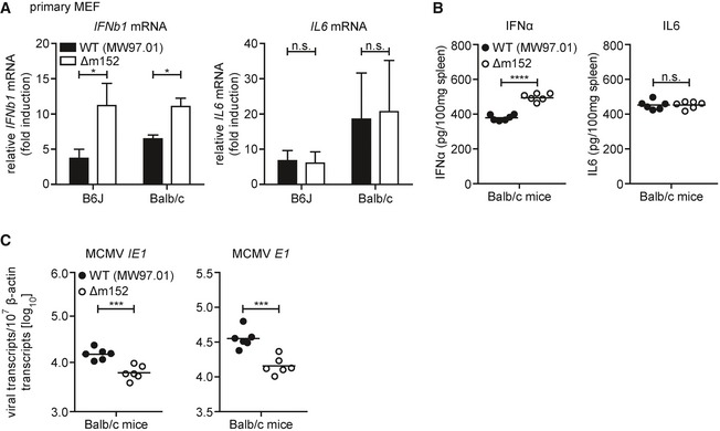 Modulatory effect of m152 on the type I IFN response is present in Balb/c mice Primary MEF from B6J or Balb/c mice were infected by centrifugal enhancement with MCMV WT (MW97.01) or MCMV Δm152 at an MOI of 0.1. Four hpi total RNA was extracted to determine IFNb1 and IL6 transcripts by qRT–PCR. Data were normalized to 10 7 cellular β‐actin transcripts and combined from three (left panel) or two (right panel) independent experiments. Balb/c mice were i.v. infected with 1 × 10 6 PFU MCMV WT (MW97.01) or MCMV Δm152. IFNα (left panel) and IL‐6 (right panel) levels in spleen organ homogenates were analyzed 6 hpi by ELISA. Balb/c mice were i.v. infected with 1 × 10 6 PFU MCMV WT (MW97.01) or MCMV Δm152. Six hpi, RNA was extracted from spleen homogenates and MCMV IE1 (left panel) and MCMV E1 (right panel) transcript levels were determined by qRT–PCR. Data were normalized to 10 7 cellular β‐actin transcripts. Data information: (B‐C) n = 6 mice per group; n.s. not significant, * P