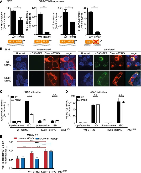 The STING‐mediated NF‐κB response is activated from the ER and specifically pro‐viral for MCMV transcription 293T cells were co‐transfected with Cherry‐STING, pRL‐TK, cGAS‐GFP (stimulated), or IRES‐GFP (unstimulated) and either the pNF‐κB, p55‐CIB, p125, or p125AA luciferase reporter. Data are representative of two independent experiments. 293T cells were co‐transfected with expression plasmids for cGAS‐GFP (stimulated) or ev (unstimulated) together with either cherry‐tagged WT STING or cherry‐tagged K288R STING. Cells were fixed for imaging 24 h post‐transfection. Scale bar represents 10 μm. iMEF gt/gt stably expressing cherry‐tagged WT STING or K288R STING and either ev or V5‐tagged m152 were stimulated with ISD (10 μg/ml) or mock stimulated. At 4 hpi, total RNA was extracted to determine IFNb1 (C) and IL6 (D) transcripts by qRT–PCR. Data shown are combined from three (C) or two (D) out of three independent experiments. iMEF gt/gt (‐) and iMEF gt/gt stably expressing either cherry‐tagged WT STING or K288R STING were infected by centrifugal enhancement with parental MCMV or MCMV m152stop (MOI 0.01). Six hpi total RNA was extracted to determine MCMV E1 transcripts by qRT–PCR. Data shown are combined from three independent experiments. Data information: Student's t ‐test (unpaired, two‐tailed), n.s. not significant, * P