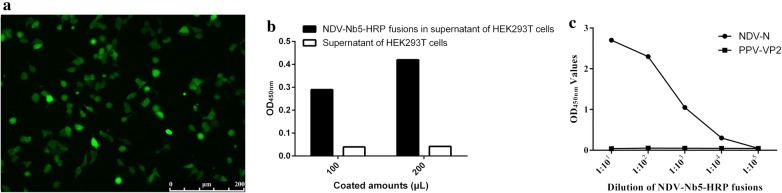 Identification of NDV-Nb5-HRP fusion protein expression and secretion in the HEK293T cells. a Detection of NDV-Nb5-HRP expressed in the HEK293T cells with the anti-HA mAb as the first antibody by IFA. b Detection of the HRP activity in the NDV-Nb5-HRP fusions secreted into the culture medium of HEK293T cells. c Detection of the NDV-Nb5-HRP reaction with the NDV-NP protein using indirect ELISA