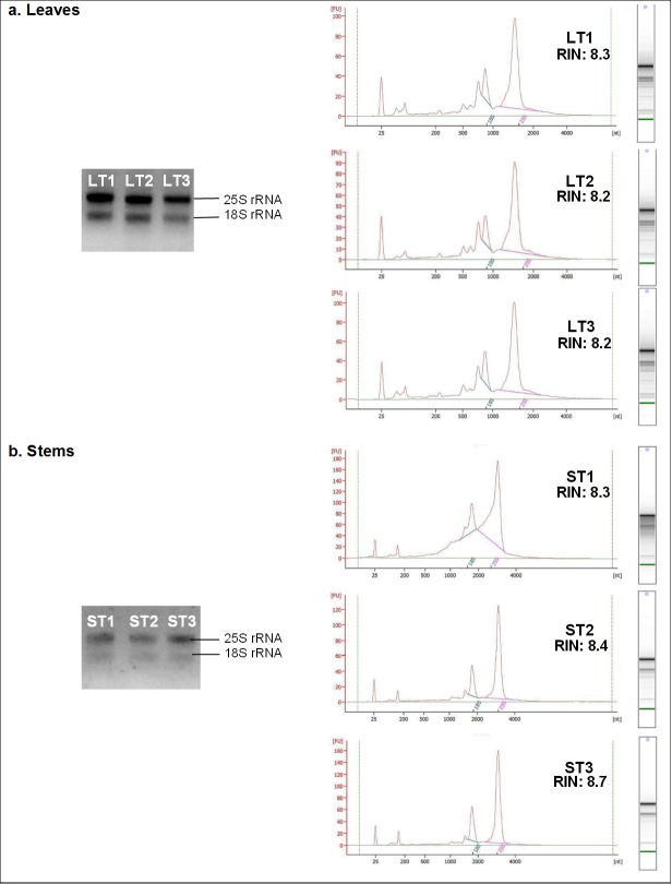 Agarose gel electrophoresis and the respective electropherograms of the total RNA samples extracted from (a) leaves, and (b) stems, of Stevia rebaudiana . Two distinct rRNA bands and peaks were clearly observed, for each sample, in both the gel and electropherograms respectively, signifying high RNA quality and minimal degradation. LT1-LT3: Replicates of RNA extracts from leaf tissues (400–600 ng); ST1-ST3: Replicates of RNA extracts from stem tissues (300–400 ng).
