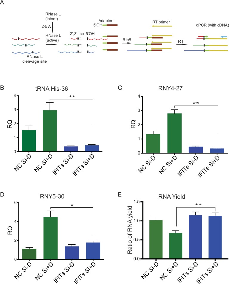 Activation of RNase L in cells depleted of IFIT2, IFIT1 and IFIT3. iSLK cells were depleted of IFIT1, IFIT2 and IFIT3 (IFITs) with siRNAs or mock depleted with negative control siRNA (NC Si). Cells were induced to permit lytic KSHV replication by treatment with doxycycline or mock-induced. RNA was harvested at 48 hr from each sample. U6 was used for normalization. (A) Diagram of site-specific qPCR for detection of RNase L site-specific cleavage. RNAs cleaved by RNase L and containing a 2′,3′-cyclic phosphate (waved lines, black vertical bar) were ligated using RtcB to an RNA-DNA adaptor (green-brown) containing a 5'OH RNA (green). The EDTA-quenched ligation reaction was used as a template for reverse transcription with Multiscribe RT. Reverse transcription was carried out using a primer with a 3′-end complementary to the adaptor and a 5′-overhang that serves as a universal priming site (yellow). SYBR-green based qPCR was conducted using a universal reverse primer (blue) that binds to the cDNA overhang and cleavage site-specific forward primers designed for each RNA target complementary to the RtcB ligation junction (red-green). (B-D) Quantitation of RNase L activity. Three specific RNase L cleavage site in His-tRNA and Y RNA were measured. (E) Total RNA yield from cells induced to permit lytic replication and transfected with either IFITs siRNA or NC siRNA. Results are shown as the ratio of each RNA amount to the yield from uninduced, NC transfected cells. Error bars show SEM of qPCR or ratio of RNA yield from three biological replicates; *P