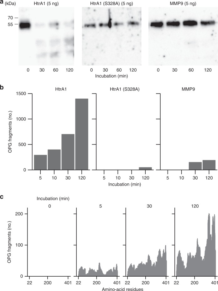 HtrA1 degrades osteoprotegerin (OPG), whereas MMP9 does not. a Full-length OPG (20 ng) was incubated with HtrA1, mutated HtrA1 (S328A), and MMP9 at 37 °C for 30, 60, and 120 min, and the remaining OPG was detected by western blotting. Amounts of proteases used were also shown. HtrA1 degraded OPG within 30 min, whereas neither mutated HtrA1 (S328A) nor MMP9. b Full-length OPG (2 μg) was incubated with HtrA1, HtrA1 (S328A), and MMP9 (0.5 μg each) at 37 °C for the indicated times. The reaction mixture was treated with dithiothreitol (DTT) and iodoacetamide (IAA), and subjected to mass spectrometry. The sequence of the OPG fragment was identified using sequence analysis software (Protein Pilot, AB SCIEX), and the number of OPG fragments was counted. Degradation of OPG by HtrA1 increased with longer reaction times. c Amino-acid residues contained in peptides detected by mass spectrometry were counted at each reaction time. The positions of the N terminus and C terminus of OPG were 22 and 401, respectively
