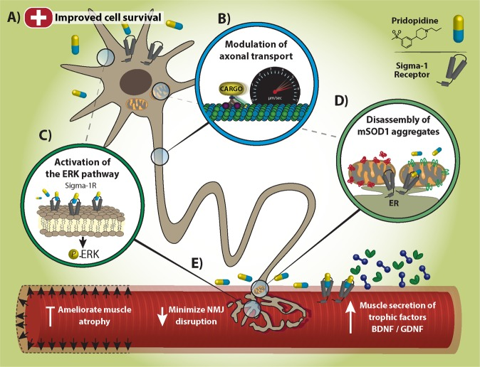 Model. a Pridopidine triggers Neuroprotective pathways and promotes survival of SOD1 G93A MNs. b S1R targeting by pridopidine modulates axonal transport of BDNF, GDNF and mitochondria in SOD1 G93A MNs. c Pridopidine activates ERK signaling in MNs via S1R. d Pridopidine chaperones mSOD1 aggregates. e Pridopidine minimizes NMJ disruption and the subsequent muscle atrophy in SOD1 G93A models. Pridopidine also increases neurotrophic factor release from muscles